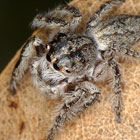 Opisthoncus Grey Striped Bark Jumper