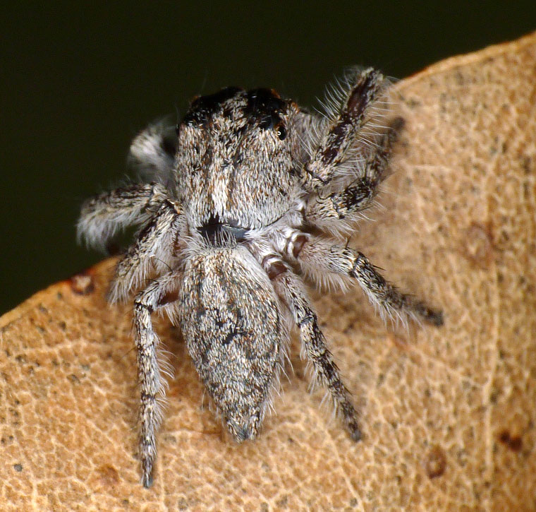 Opisthoncus sp Grey Striped Bark Jumper
