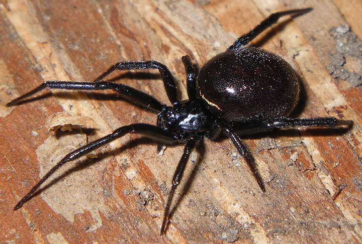 Steatoda with egg sac