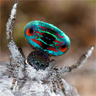 Maratus darlingtonii