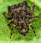 Salticidae undescribed genus sister group of Neon