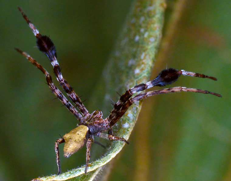 Stephanopis barbipes male