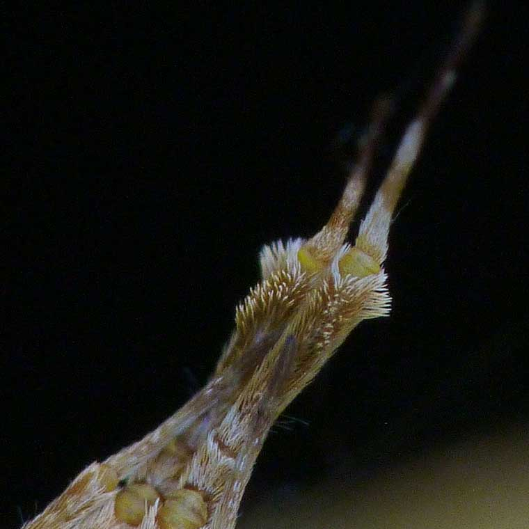 Uloborus barbipes