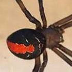 Latrodectus hasselti Red Back Spider